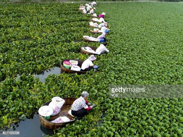 Farmers collect water caltrop nuts Trapa natans on Qiuxue Lake on August 6 2017 in Taizhou China
