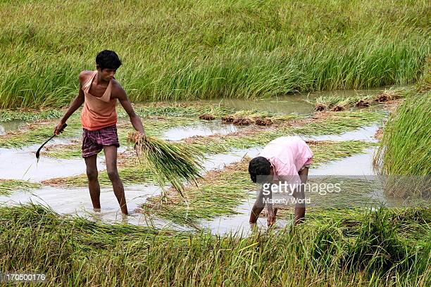 Farmers collecting half ripened Boro paddy from the fields on the bank of Jamuna river two weeks earlier than due harvesting time as the water level...