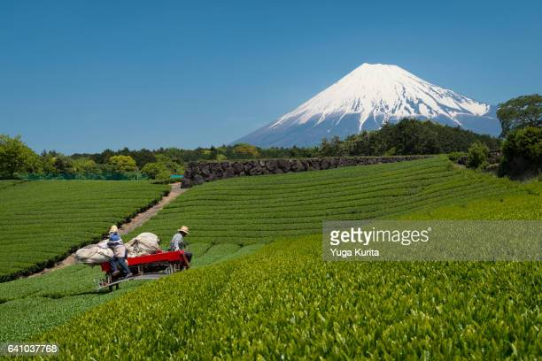 farmers cropping green tea with mt. fuji in the background on a sunny day - 静岡県 ストックフォトと画像