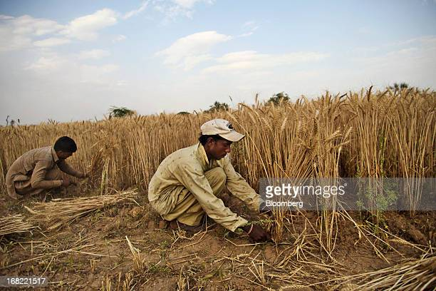 Farmers cut wheat with a sickles during a crop harvest in the Chakwal district of Punjab province Pakistan on Saturday May 4 2013 Pakistan wheat...