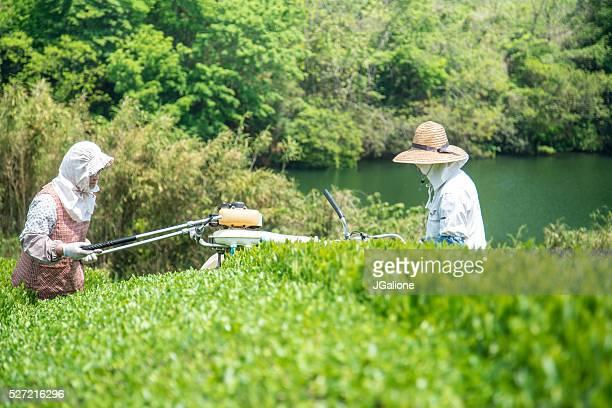 Farmers cutting a crop of fresh green tea leaves