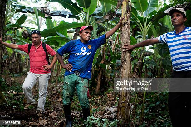 Farmers Delvis Argumen Pedro Montes and Juan Martinez rest on banana trees in Tierradentro Colombia on October 29 2015 With financial assistance from...