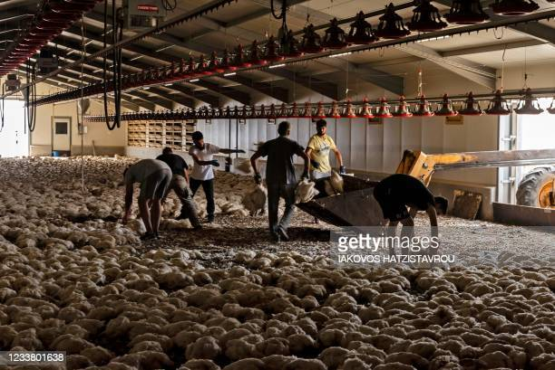 Farmers dispose of around 80,000 chickens that died from heat and smoke inhalation near Ora village on the southern slopes of the Troodos mountains...