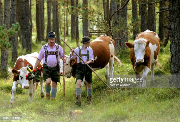 Farmers drive their cattle during the traditional Almabtrieb in Kruen, Germany, 20September 2014. Photo: ANGELIKAWARMUTH/dpa | usage worldwide