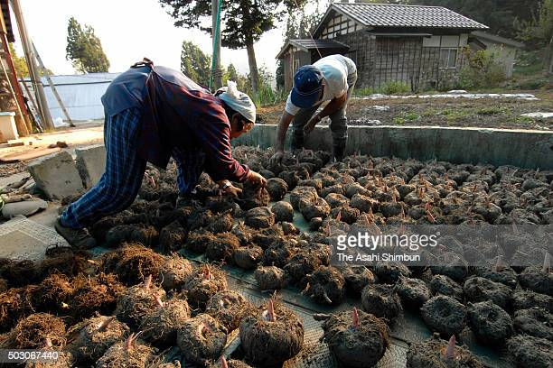 Farmers dry konjac potatos on October 17 2006 in Ojiya Niigata Japan