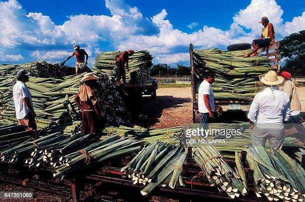 Farmers during the agave harvest near Merida Yucatan Mexico