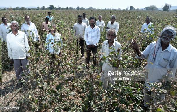 Farmers from Wadgaon village said the pink bollworm attack has not spared a single cotton farmer in their village on February 4, 2018 in Yavatmal,...