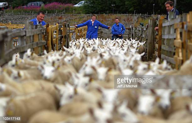 Farmers gather their lambs ahead of the Lairg auction great sale of lambs on August 17 2010 in Lairg Scotland Lairg market hosts the annual lamb sale...