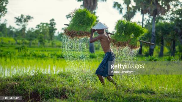 farmers grow rice in the rainy season - india summer stock pictures, royalty-free photos & images