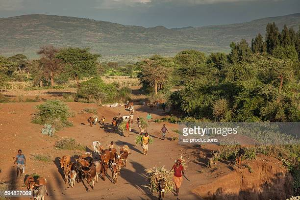 Farmers guiding herd of cattle