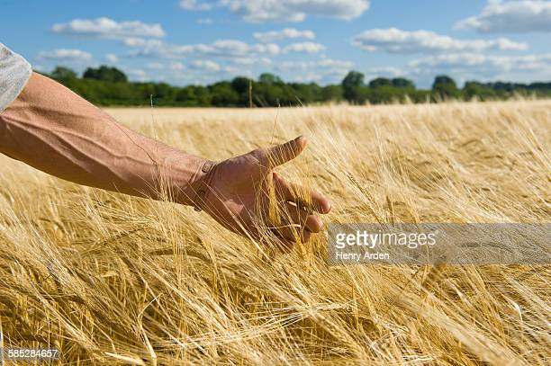 Farmers hand checking ear of wheat in wheatfield