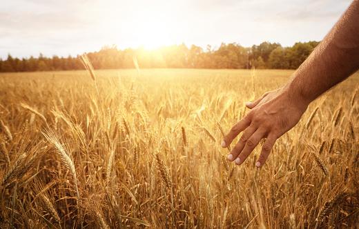 Farmers hand in the wheat field 973949416
