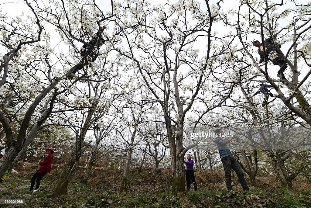 Chinese fruit farmers hand polinate pear trees : Nachrichtenfoto