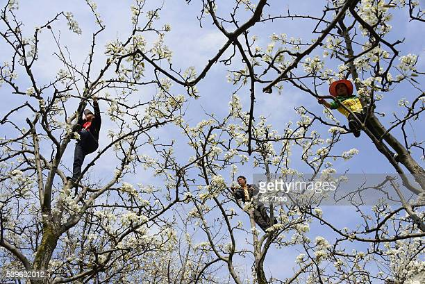 Farmers hand pollinate pear trees in Hanyuan Sichuan province south west China on 13th March 2015