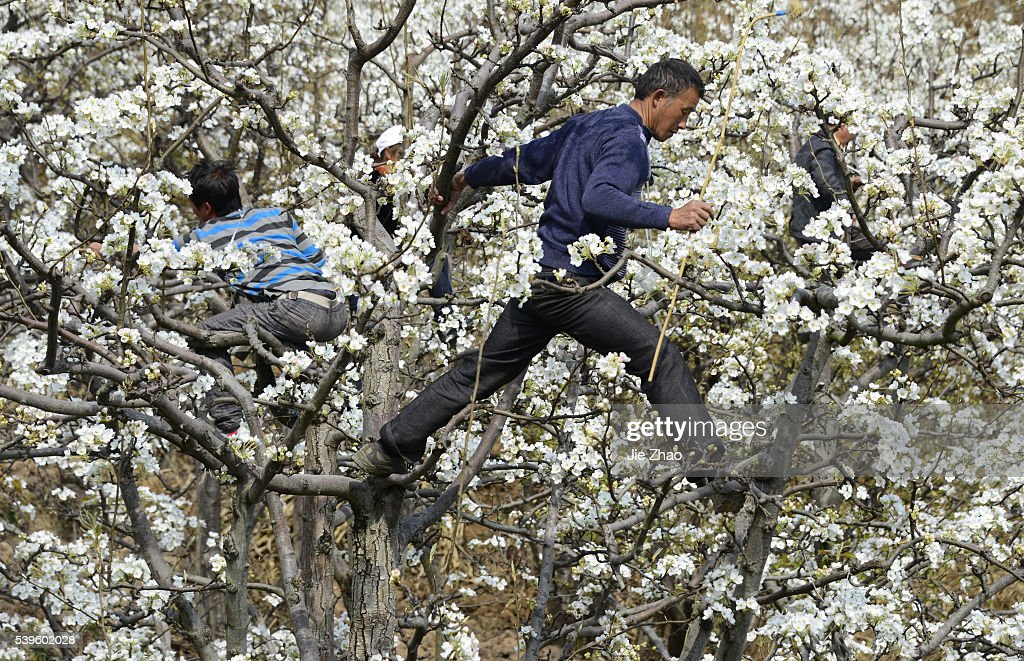 Chinese fruit farmers hand polinate pear trees : News Photo
