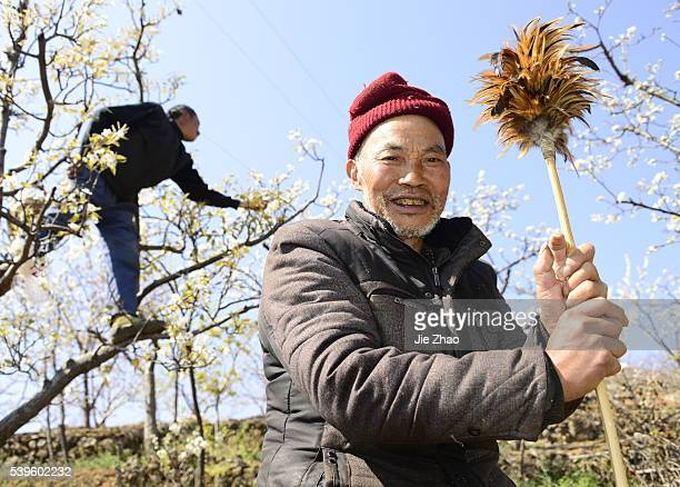 Farmers hand pollinate pear trees in Hanyuan Sichuan province south west China on 11th March 2015