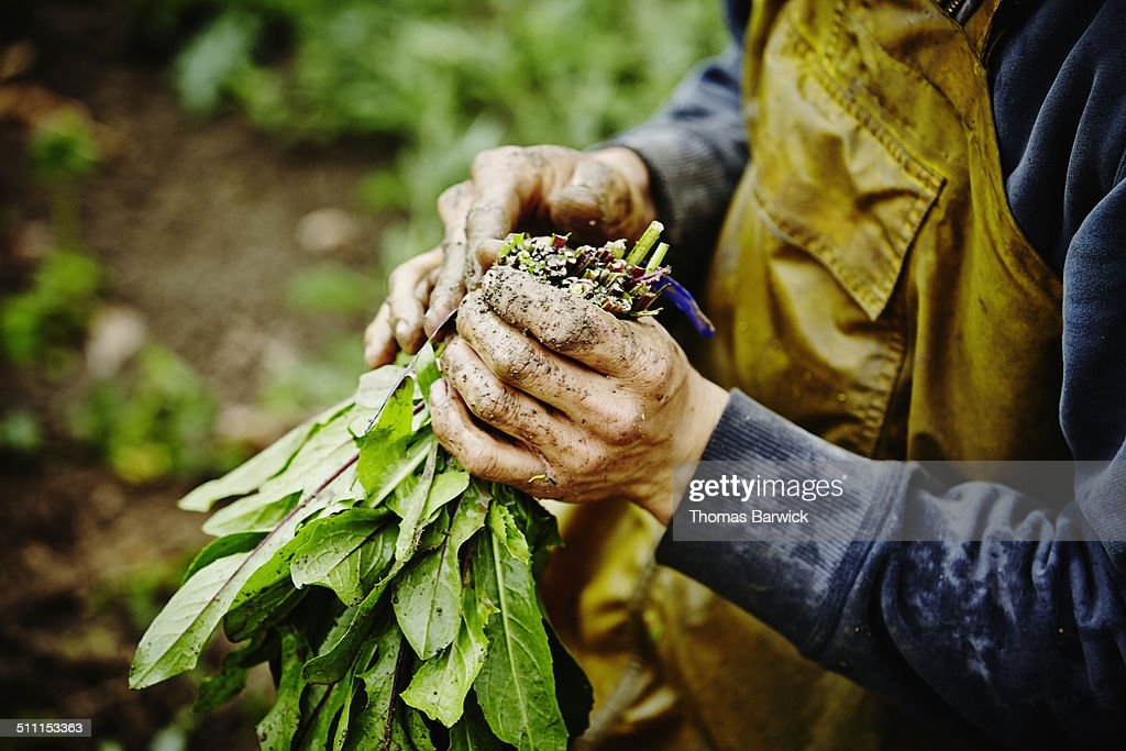 Farmers hands bundling bunch of dandelion greens : Stock Photo