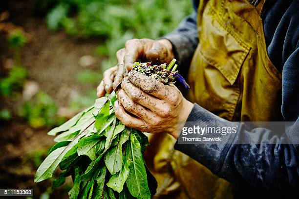 farmers hands bundling bunch of dandelion greens - feuille de pissenlit photos et images de collection