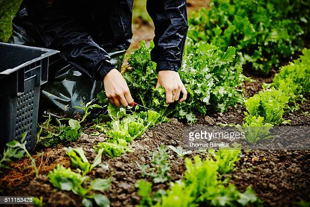 Farmers hands harvesting organic lettuce stems