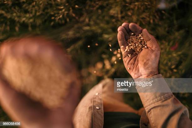 farmer's hands holding wheat grains - agronomist stock pictures, royalty-free photos & images
