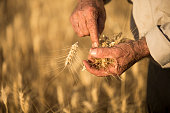 Farmer's Hands With Wheat Grains