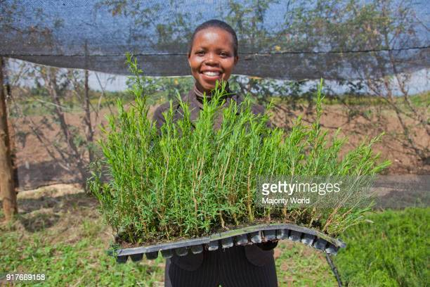 Farmers harvest and process tea tree oil for sale for export as a health and beauty product Kenya