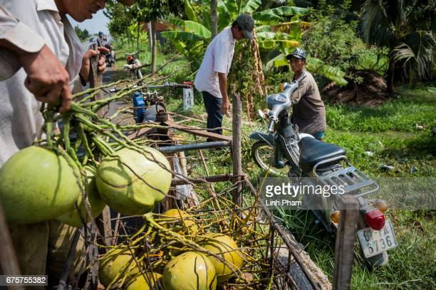 Farmers harvest coconuts on April 29 2017 in Giong Trom District Ben Tre Province Vietnam The Mekong River Delta is amongst the most vulnerable...