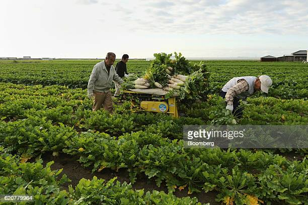 Farmers harvest Daikon radishes at a field in Tatsuno Hyogo Prefecture Japan on Wednesday Nov 2 2016 Unusually poor weather in western Japan and a...