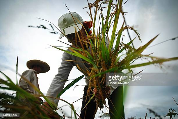 Farmers harvest grain in Bula township in Camarines Sur on May 5 2012 in Luzon Philippines A recent paper by the Asian Development Bank estimated...