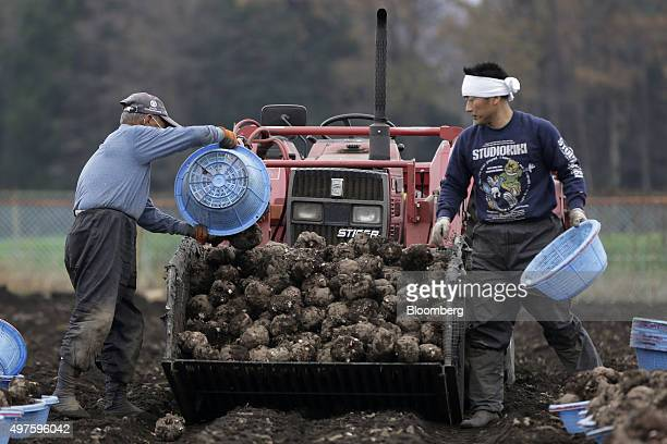 Farmers harvest konjac roots in a field in Showa Village Gunma Prefecture Japan on Tuesday Nov 17 2015 Konjac a yamlike plant is Japans mostprotected...