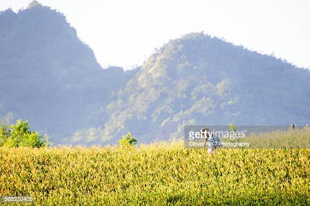 farmers harvest lily flowers in the morning. - hualien county stock pictures, royalty-free photos & images
