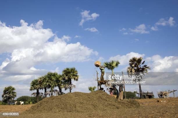 Farmers harvest peanuts on December 1 2013 near Bagan AFP PHOTO / FRANCOIS XAVIER MARIT
