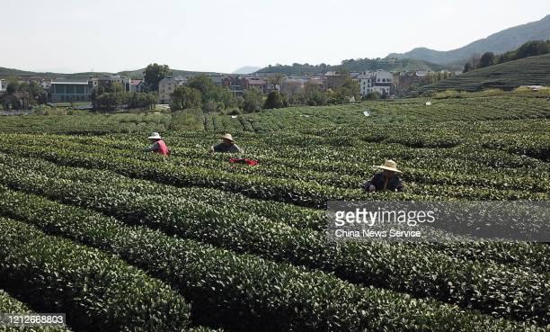 Farmers harvest West Lake Longjing tea at a tea farm on March 15, 2020 in Hangzhou, Zhejiang Province of China.