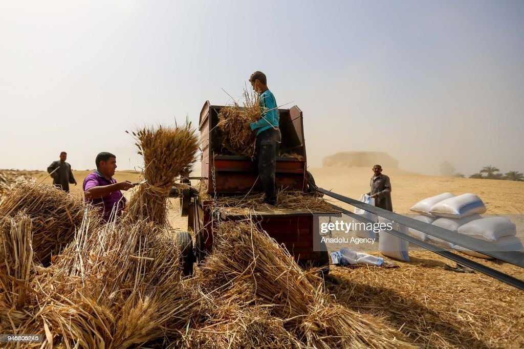 Wheat harvest in Egypt : Nieuwsfoto's