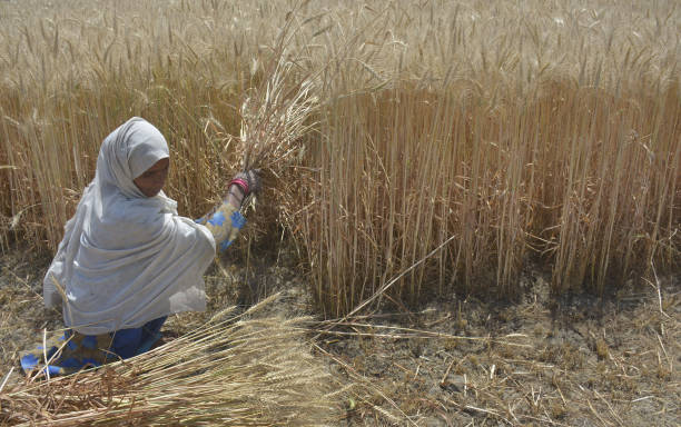 IND: Farmers Harvest Wheat At Fields In Ghaziabad