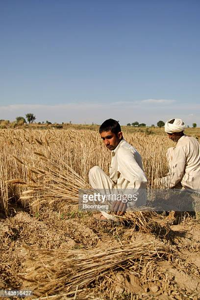 Farmers harvest wheat in the Chakwal district of Punjab province Pakistan on Thursday May 3 2012 Pakistan is Asia's thirdlargest grower of wheat...