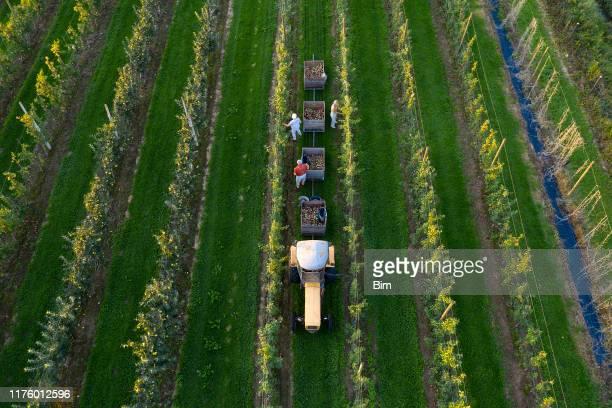 boeren oogsten appels in boomgaard, antenne - fruitboom stockfoto's en -beelden