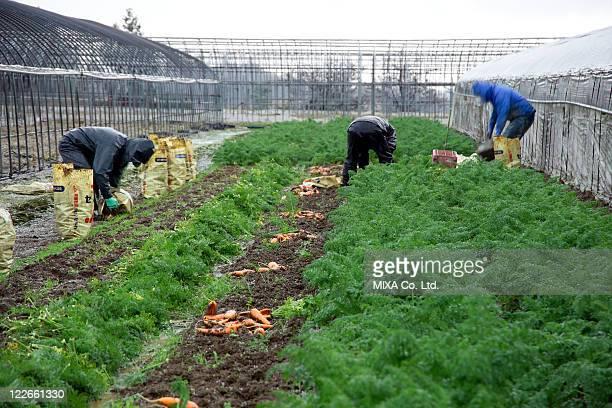 Farmers harvesting carrots