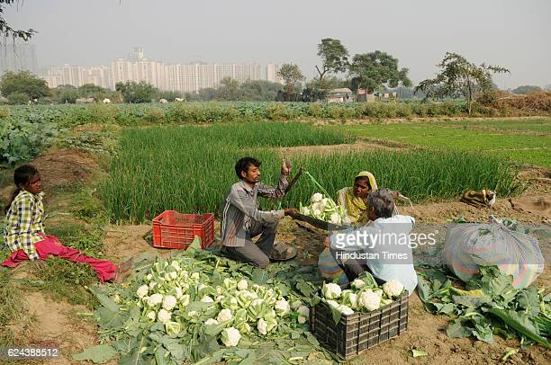 Farmers harvesting cauliflower crops on November 19 2016 in Noida India Farmers report a steep fall in vegetable wholesale prices since the...