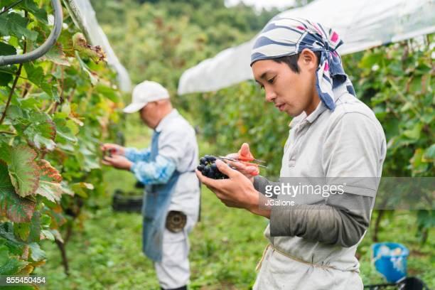 農家の畑でブドウを収穫