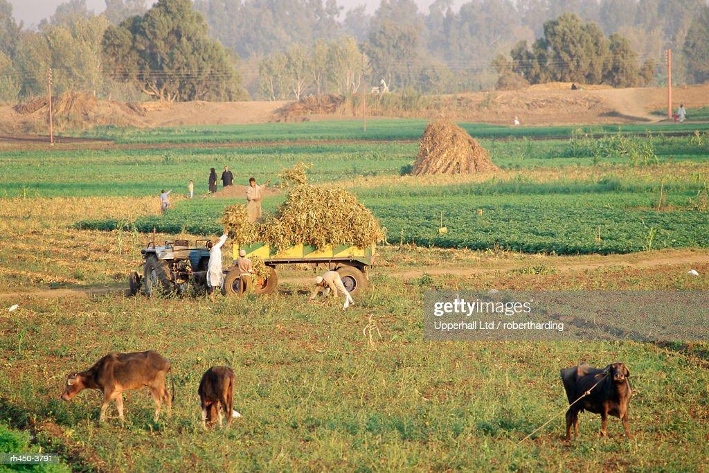 Farmers harvesting in fields near Tanta, Delta area, Egypt, North Africa, Africa : Stockfoto