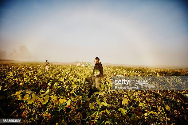 Farmers harvesting organic squash field at sunrise