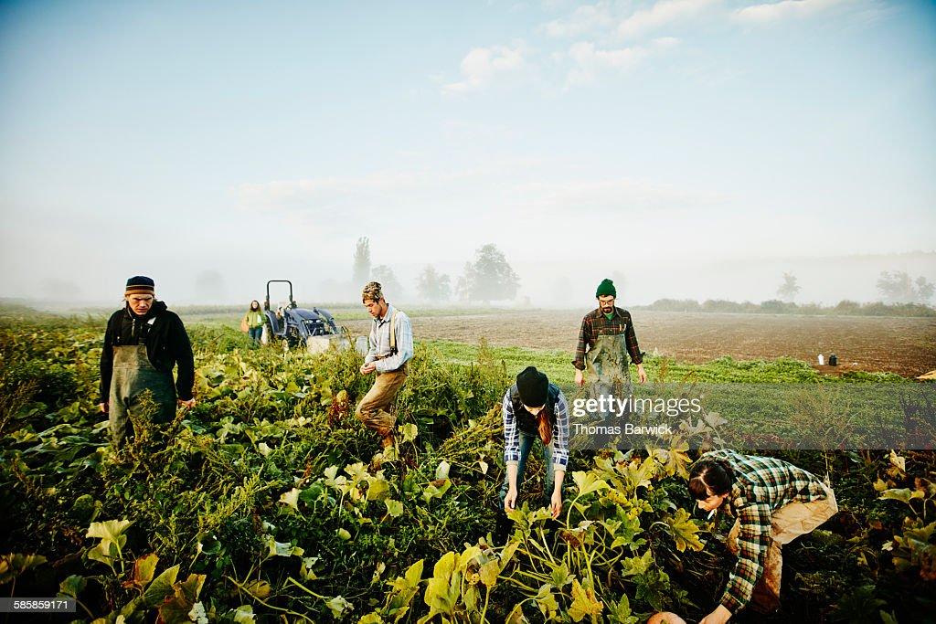 Farmers harvesting organic squash in field : Stock Photo