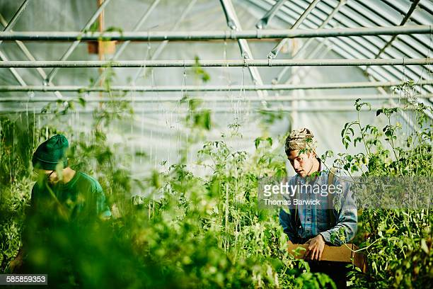 Farmers harvesting organic tomatoes in greenhouse
