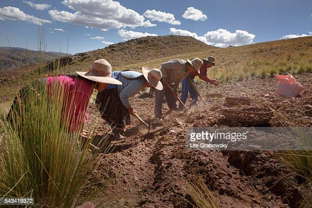Farmers harvesting potatoes in the Andes of Bolivia on April 14 2016 in Sacaca Bolivia