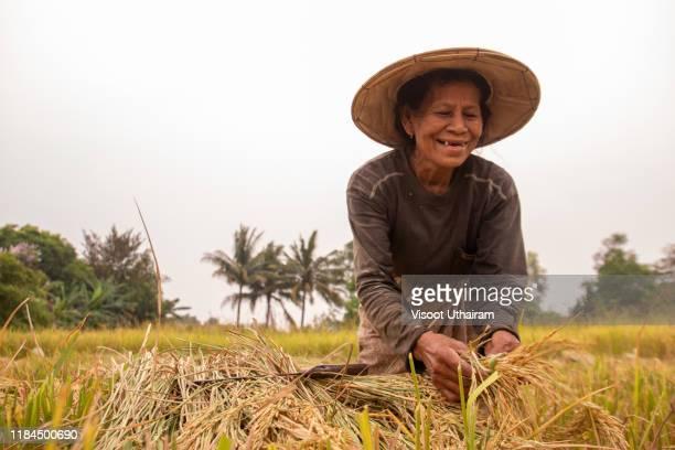 farmers harvesting rice. - parto natural imagens e fotografias de stock