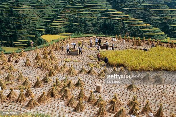farmers harvesting rice - province du guizhou photos et images de collection