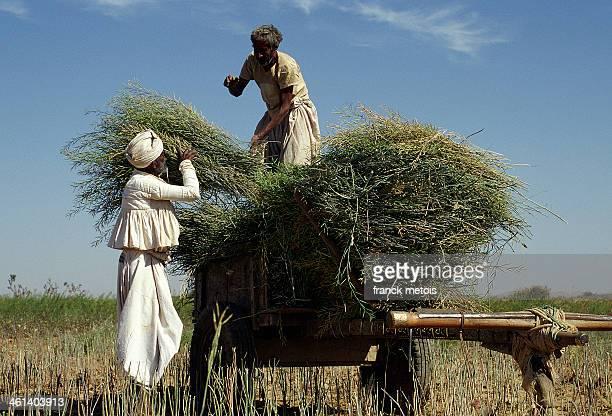 Farmers harvesting sesame