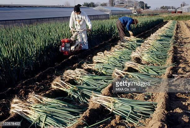 Farmers harvesting spring onions