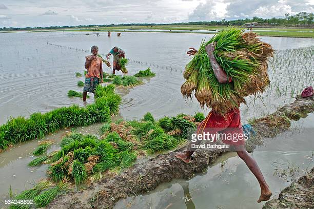 Farmers haul rice seedlings for planting